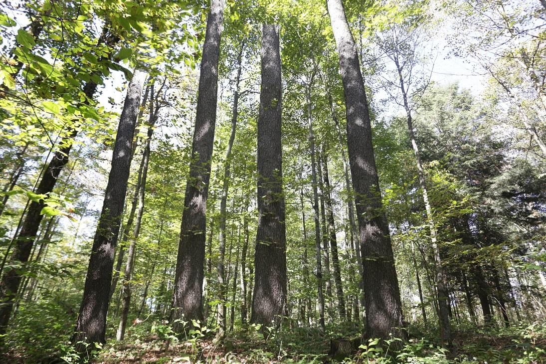 アメリカンブラックチェリー 立ち木