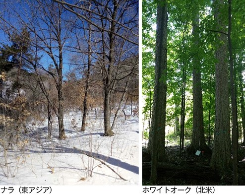 ナラとホワイトオークの立木