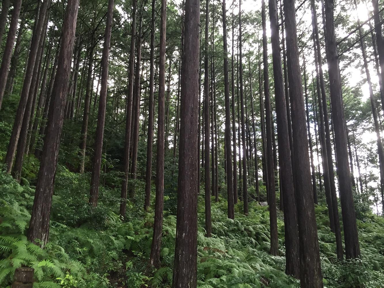 尾鷲ヒノキ立ち木