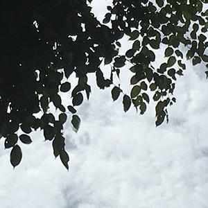 リングアの葉