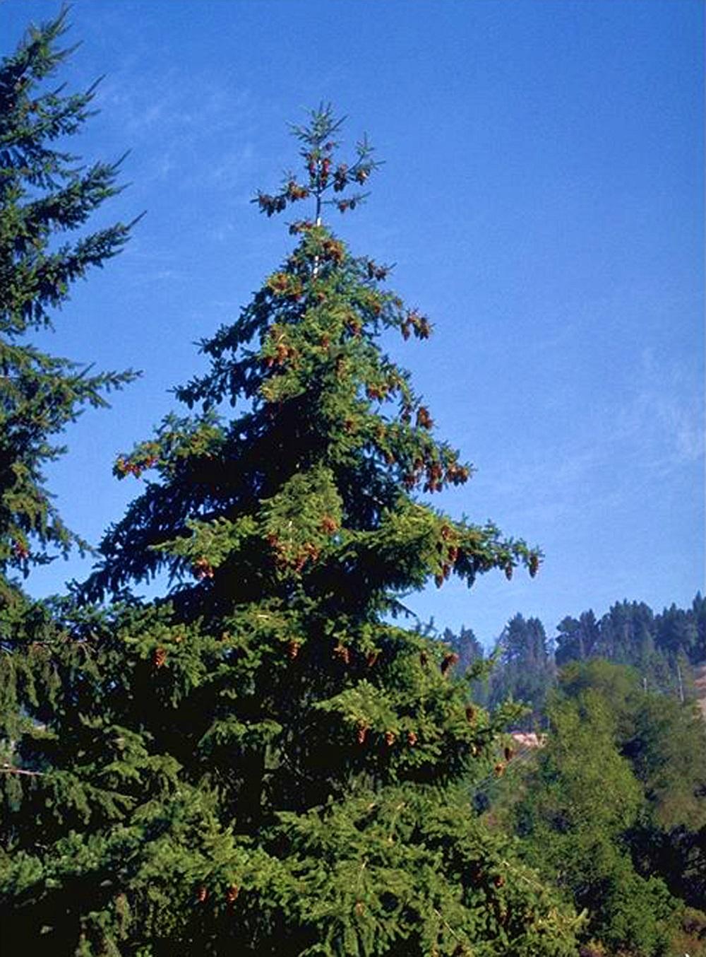 ダグラスファー立木